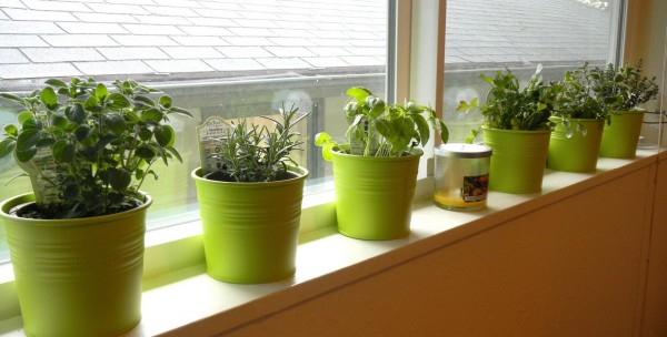 Growing Windowsill Herbs