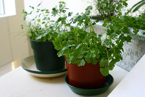 Kitchen Herbs for Your Indoor Herb Garden