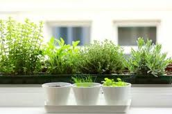 Growing Herbs On Apartment Windowsill