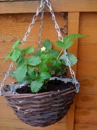 When to Water Hanging Basket Herb Garden